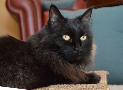 Black cat Raven