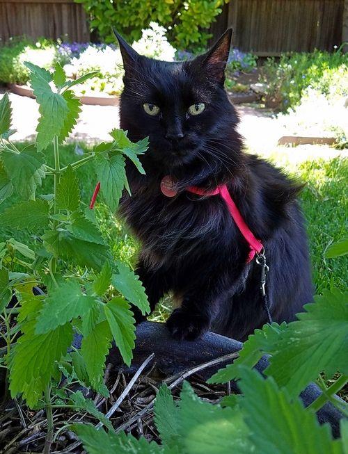 Raven-catnip