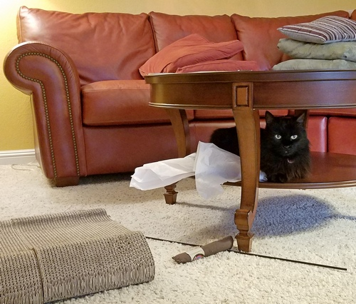 Raven under table