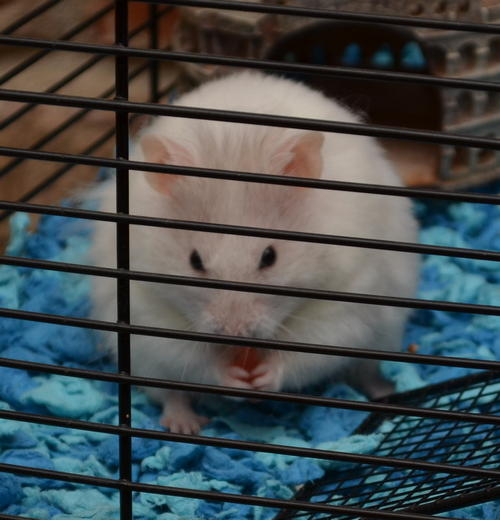 Cloud hamster eating watermelon