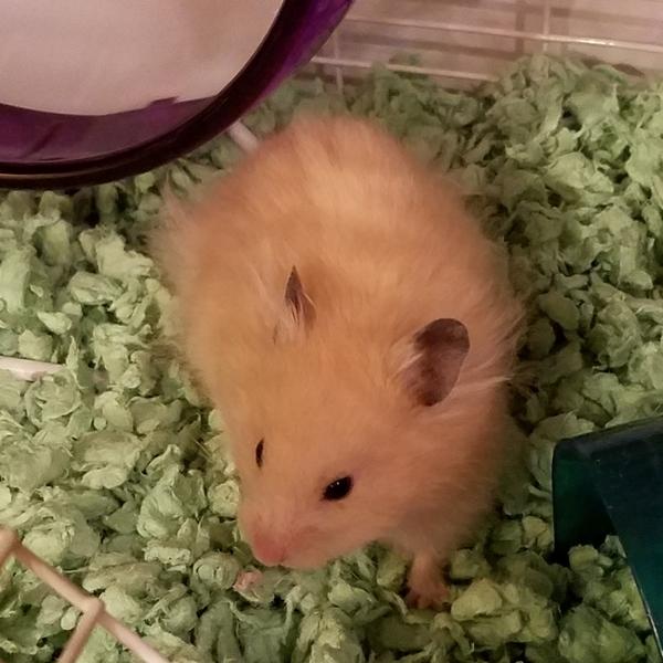 Sprinkles Hamster