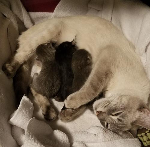 Juniper nursing three kittens