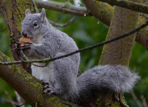 Squirrel with walnut