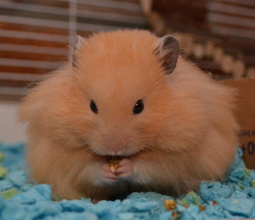 Thunder hamster nibbling treat