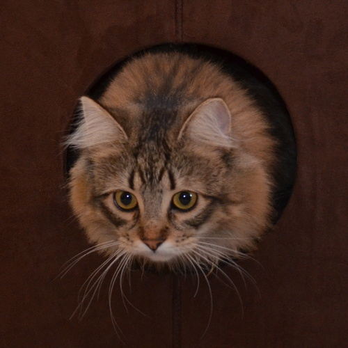 Kitten Wolfie with his head poking out of a round hole in perch.