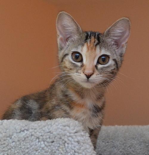 Kitten Molly, a tortishell.