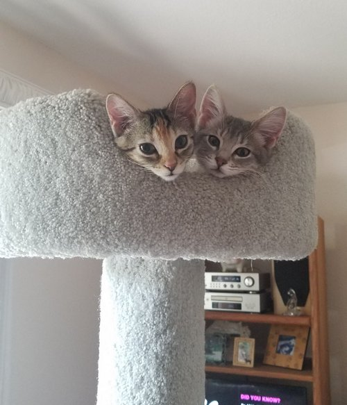 Kittens Molly and Pearl cuddled in a perch their first day in their new home.