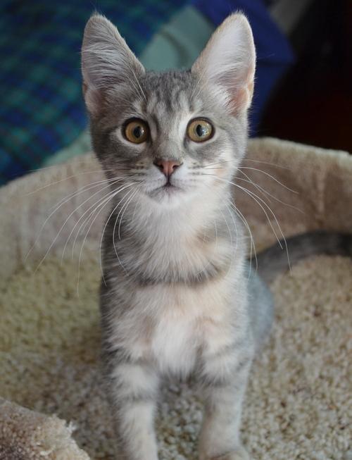Kitten Pearl, a light gray tabby.